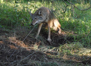ACTION ALERT: Tell Huntington to Stop Killing Coyotes!