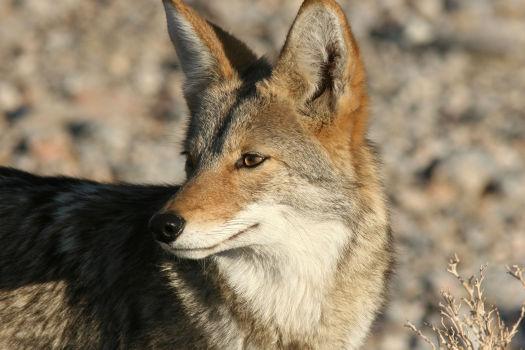 Coyote head profile