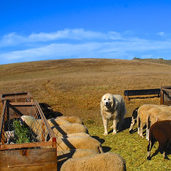 A livestock guardian dog watches over his flock of sheep.