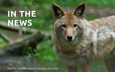 Arcadia OK's Coyote Culling During Feb. 21 City Council Meeting