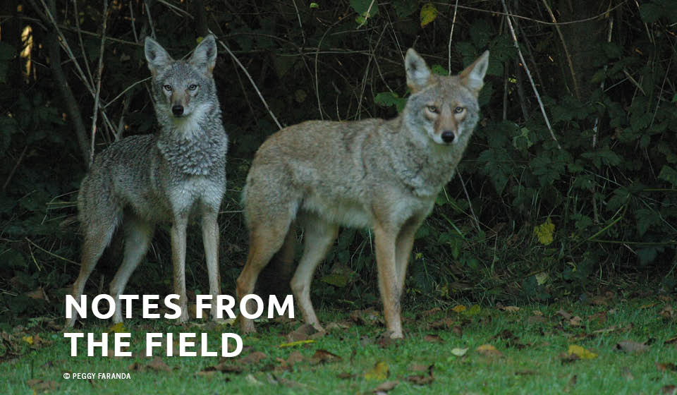 Coyote Ecology: The Rites (and Wrongs) of Spring & Early Summer