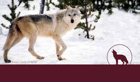 SPEAK OUT AGAINST PROPOSAL TO ALLOW WOLF-BAITING IN IDAHO!