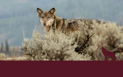 The New Threat to Wolves in and Around Yellowstone