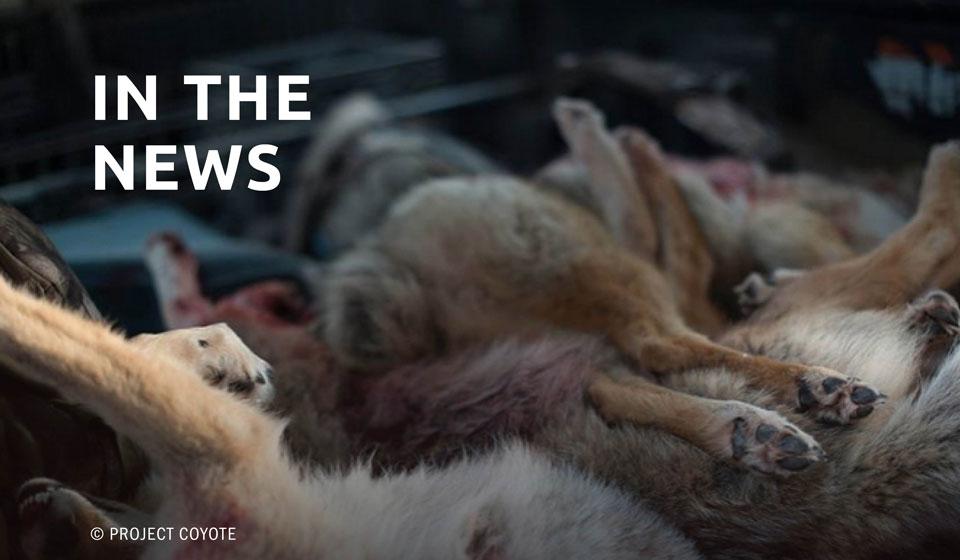 Mass coyote kills take heat