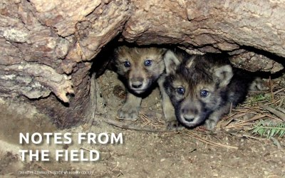 The Profanity of the Profanity Peak Wolf Pack Massacre