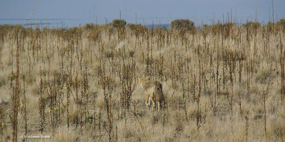nftf-dan-flores-coyotes