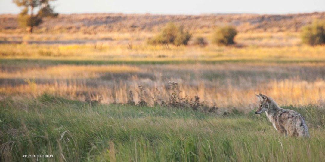 nftf-dan-flores-coyotes2