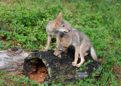 Marin County neighborhood coexists with coyotes