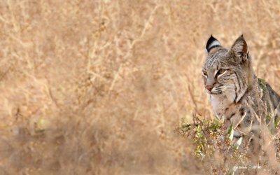 Urbanization and anticoagulant poisons promote immune dysfunction in bobcats