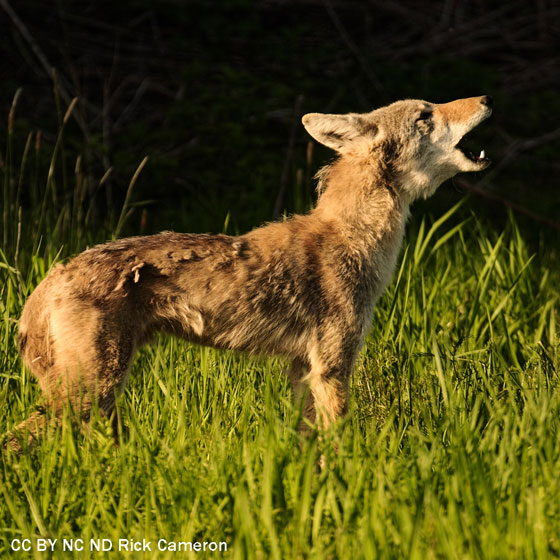 Coyotes howl to chat with their neighbors