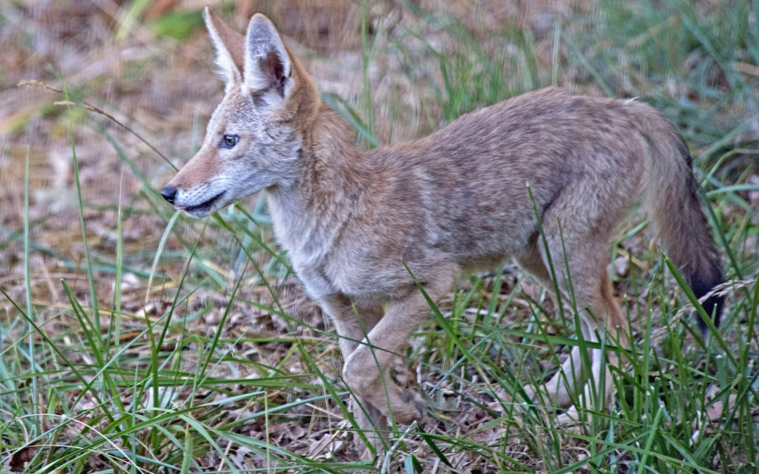 How Coyotes Are Winning The War We've Waged On Them