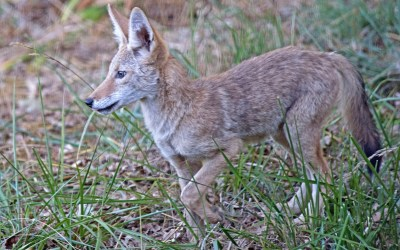 Image result for idfg coyote images