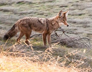 Coyotes: Dispelling Myths About Who They Are, What They Do