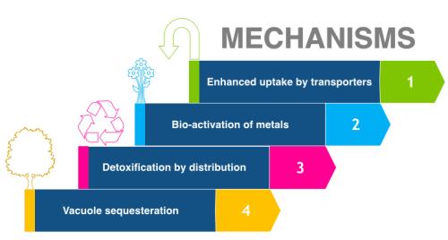 Phytoremediation Mechanisms for Heavy Metal Uptake