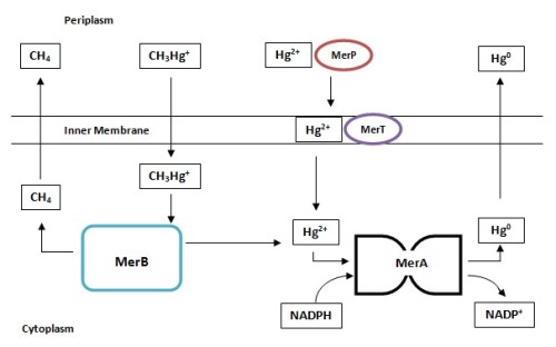 Mode of action of NADPH, converting mercuric ion to volatile mercury.