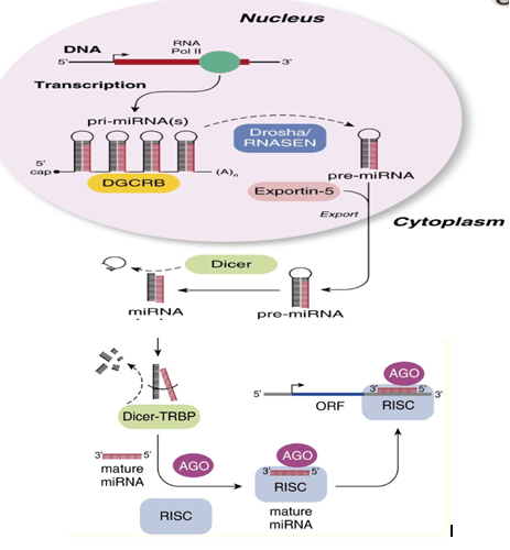 Steps involving in biogenesis of miRNA. MicroRNA processing. AGO = Argonaute proteins; DGCR8 = DiGeorge syndrome critical region gene 8; ORF = open reading frame; RISC = RNA-induced silencing complex; TRBP = transactivating response RNA-binding protein. (Gregory et al., 2005)