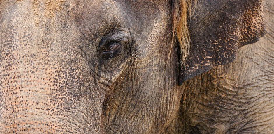 elephante asiatico