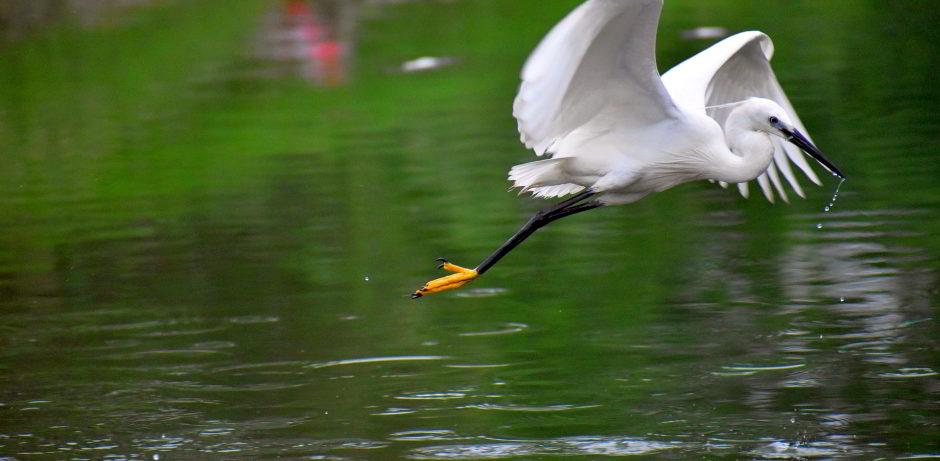 flying-siberian-crane-