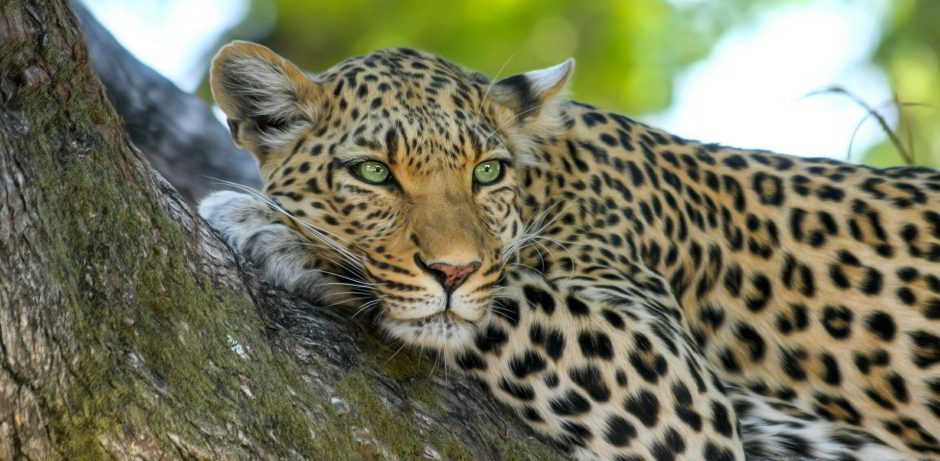 leopard-