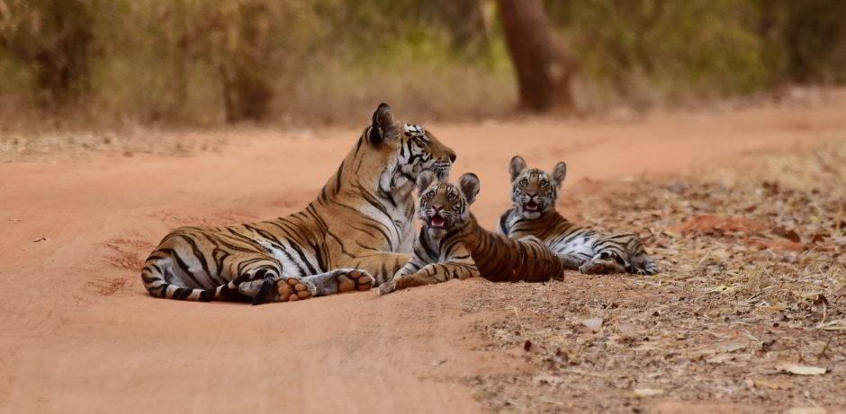 syna-tiger-resort-