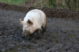 reasons not to eat pork