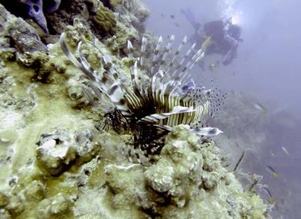 lion fish palau