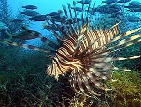 lion fish of palau