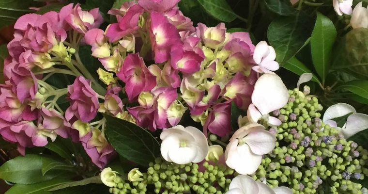 Research: Identifying Hydrangeas