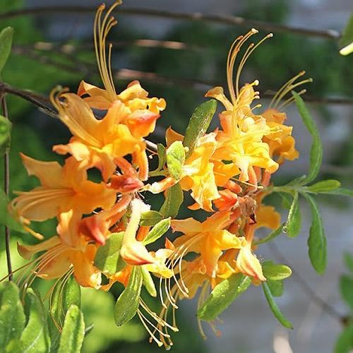 Florida Azalea (Rhododendron austrinum)