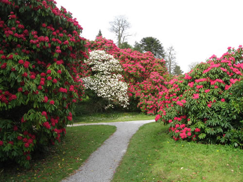 Azaleas at the Florence Court Estate in County Fermanagh, Ireland