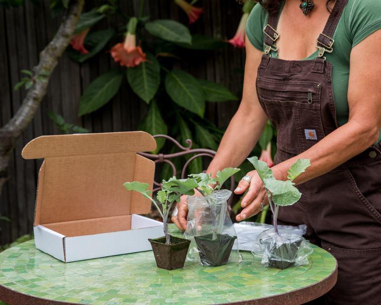 packaging Purple Tree Collard plants