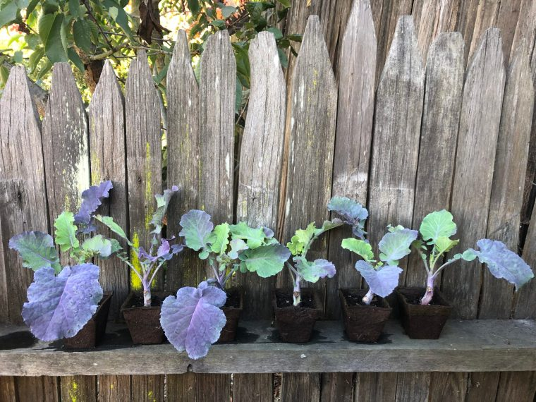 6 Purple Tree Collard Plants