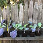6 Purple Tree Collard Plants