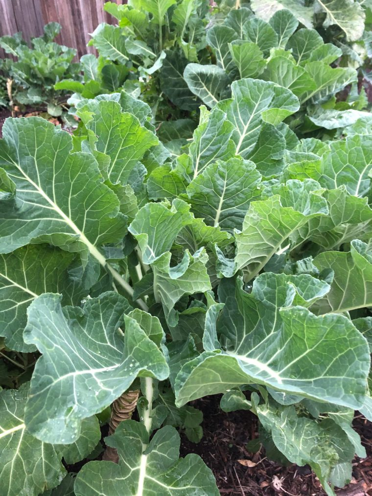 Young Merritt Tree Collard Plants