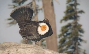 blue grouse - sooty grouse male