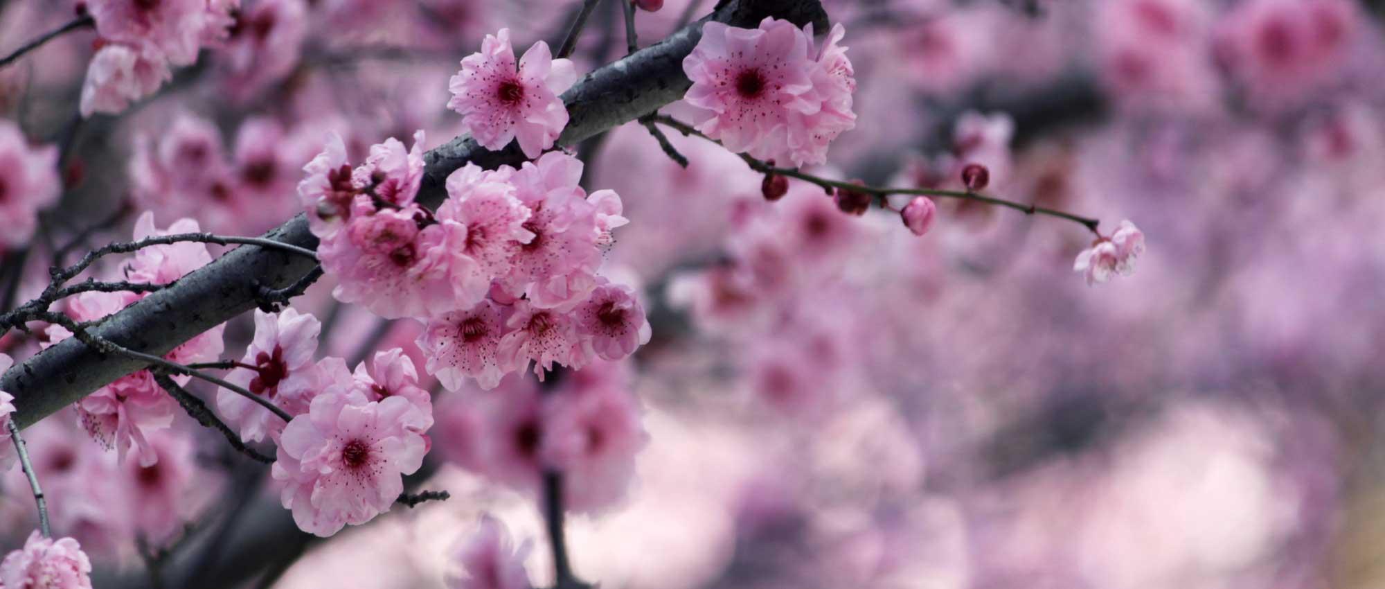 cerisiers du japon planter tailler