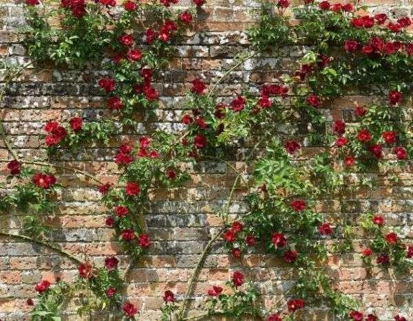 Comment Attacher Un Rosier Grimpant Promesse De Fleurs