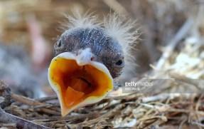 pollo de pájaro en nido