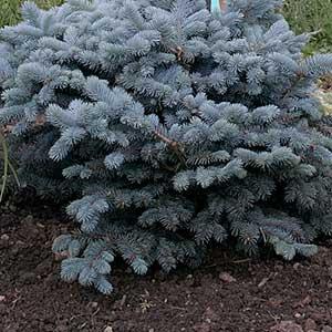 Glabosa Spruce