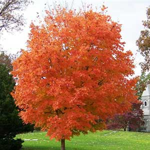 Sugar Maple 'Legacy'