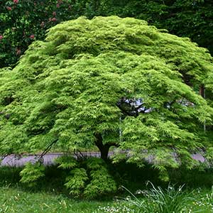 Japanese Maple 'Virdis'