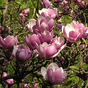 Black Tulip Magnolia Tree