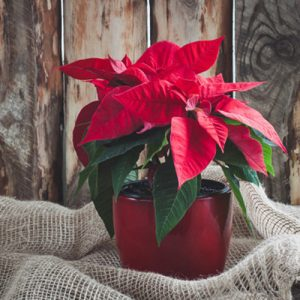 Caring For Your Poinsettia Past The Holidays Kingsport Tn