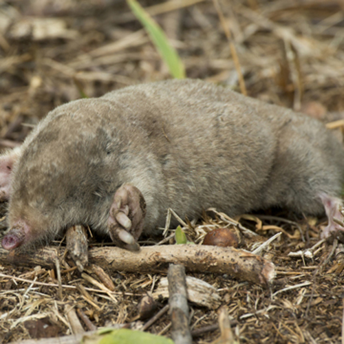 getting rid of moles and gophers