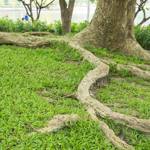 why tree roots need trimming