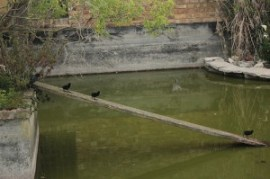 our moorhen chicks at the Farm