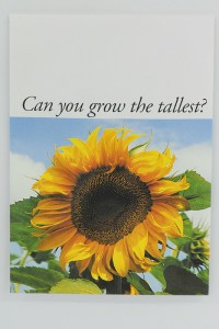 Sunflower Russian Giant