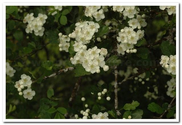 Crataegus oxyacanthoides   Crataegus oxyacanthoides  Aubépine épineuse
