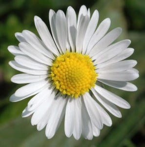 Bellis perennis fleur 1