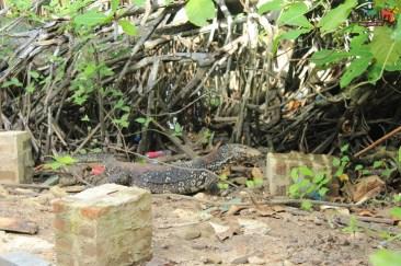 sri lanka tour itinerary - Madu River Boat Ride through Mangroves - View 22 - Lizard spotted